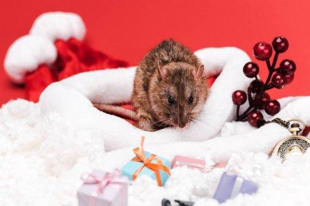 Photo pour Foyer sélectif de petit rat près des baies rouges et des cadeaux isolés sur le rouge - image libre de droit
