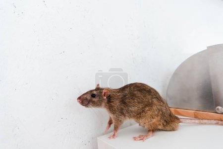 small rat on white table near bread box and wall in kitchen