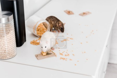 Selective focus of small rats near glass jars with...