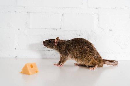 selective focus of tasty cheese cube near small rat on table near brick wall