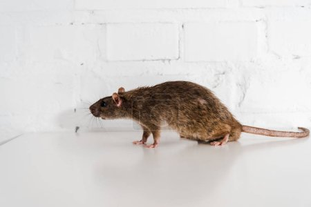 grey and small rat on table near brick wall