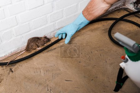 Photo for Cropped view of exterminator in latex glove catching rat near brick wall - Royalty Free Image