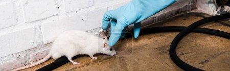 Photo pour Plan panoramique de l'exterminateur en gant de latex attraper petit rat près du mur de briques - image libre de droit
