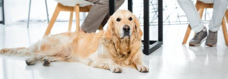 Photo for Panoramic shot of cute golden retriever lying on floor in office - Royalty Free Image