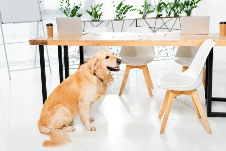 Photo for Cute golden retriever sitting on floor near table in office - Royalty Free Image