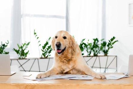 Niedlicher Golden Retriever sitzt mit Dokumenten im Büro am Tisch