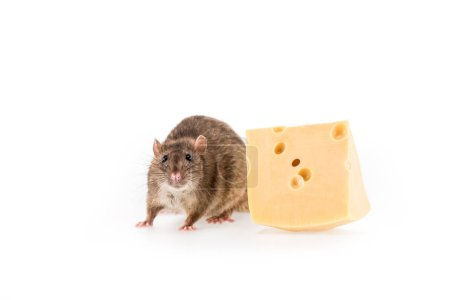 Photo for Rat and cheese on white background with copy space in New Year - Royalty Free Image