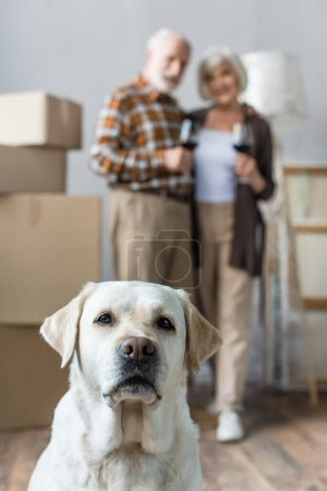 Photo pour Vue floue du couple de personnes âgées tenant des verres de vin et un chien labrador au premier plan - image libre de droit