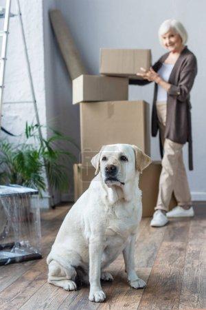 Verschwommene Sicht auf Seniorin beim Falten von Kartons und Labrador-Hund im Vordergrund