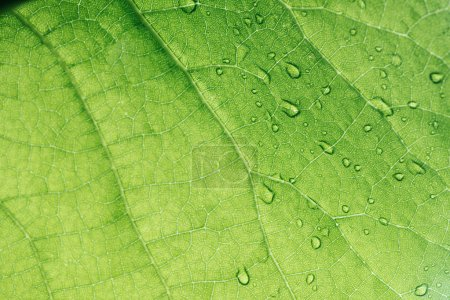 Photo for Macro texture of green leaf with water drops - Royalty Free Image