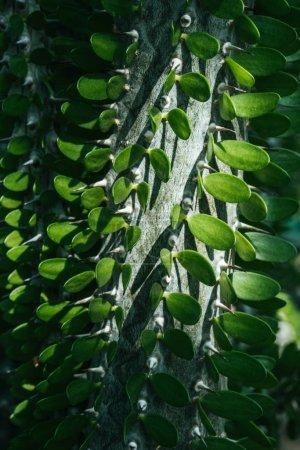 close up of green pachypodium cactus texture