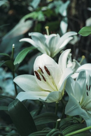 close up view of white lily flowers