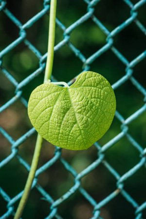 one green leaf on metal fence