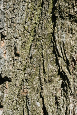 vertical texture of dry grey tree bark