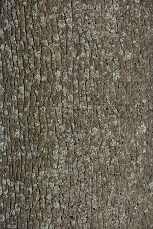 vertical texture of dry tree bark