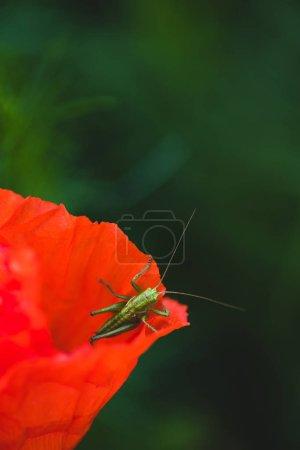 Green grasshopper sitting on red poppy flower