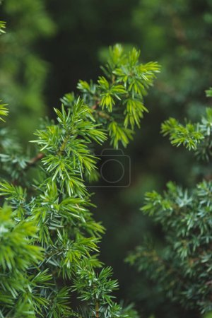 Conifer green branches and leaves background