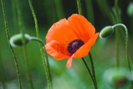 Flor de amapola roja en el prado de verano