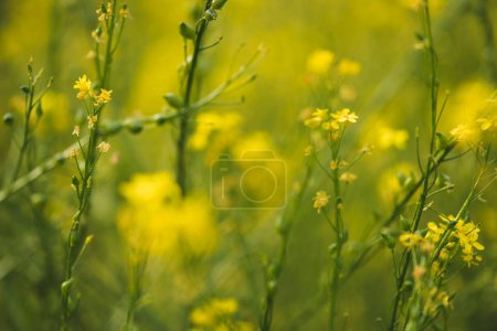 Blooming yellow flowers on summer meadow