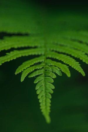 Green fern leaf on dark background