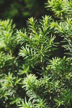 Photo pour Pruche arbre vert branches et feuilles fond - image libre de droit