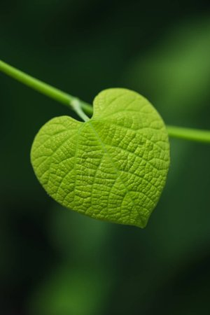 Heart shaped leaf on blurred green background