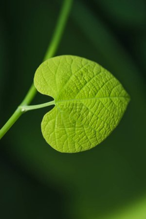 Green plant leaf in form of a heart