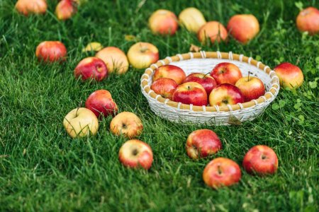 Photo for Red fresh picked apples in wicker bowl on green grass - Royalty Free Image