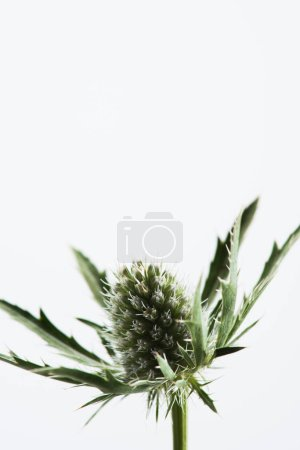 close up view of green eryngium alpinum plant isolated on white