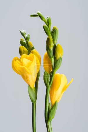close up view of yellow fresia flowers isolated on grey