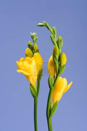 Foto de Cerrar vista de hermosa fresia flores aisladas en azul - Imagen libre de derechos