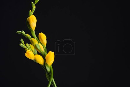 close up view of beautiful yellow fresia flowers isolated on black