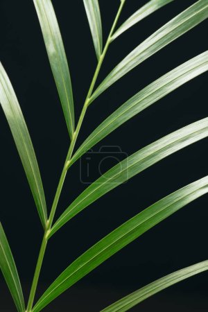 close up view of green palm leaf isolated on black