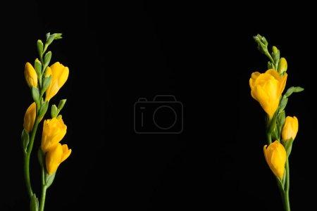 Photo pour Vue rapprochée de belles fleurs jaunes fresia isolées sur noir - image libre de droit