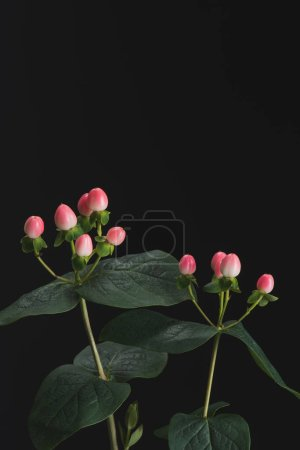 Close up view of plants with pink hypericum berries isolated on black
