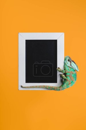 beautiful bright green chameleon on blackboard in white frame isolated on orange