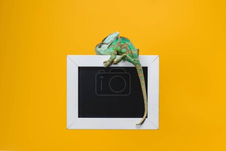 beautiful bright exotic chameleon on blackboard in white frame isolated on yellow