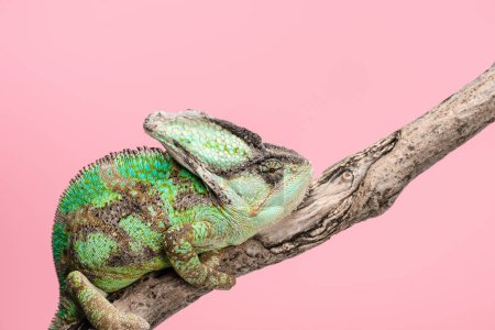 beautiful bright green chameleon sitting on tree branch isolated on pink