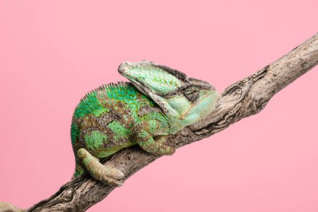 Photo for Side view of beautiful bright green chameleon sitting on tree branch isolated on pink - Royalty Free Image
