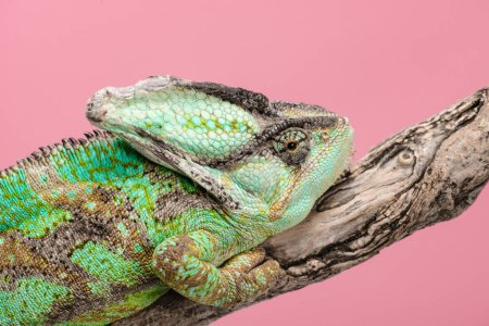 close up of beautiful bright green chameleon sitting on tree branch isolated on pink