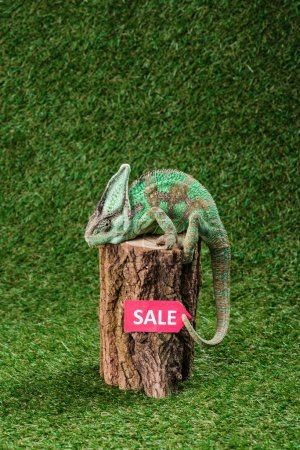 side view of beautiful bright green chameleon sitting on stump with sale sign