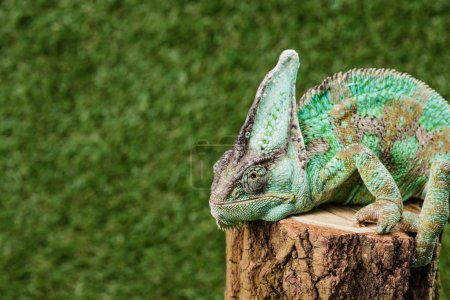 green chameleon with camouflage skin sitting on stump