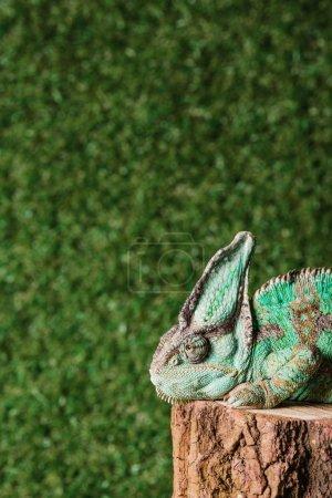 beautiful chameleon with camouflage skin sitting on stump