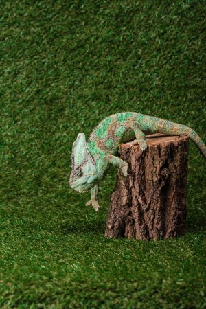 side view of beautiful colorful chameleon climbing down stump