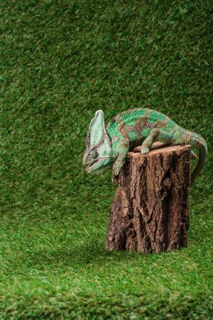 side view of beautiful bright green chameleon sitting on stump