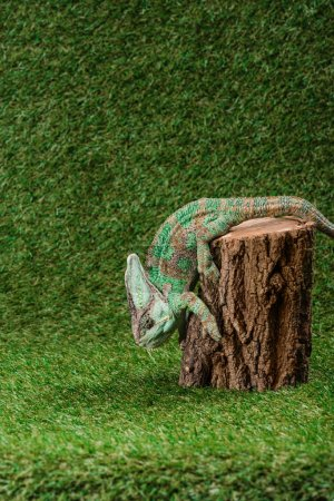 side view of beautiful bright green chameleon climbing down stump