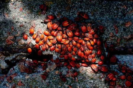 top view of many red firebugs on concrete surface