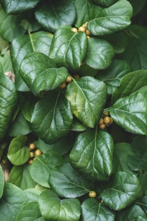 close up of green leaves and yellow berries in park