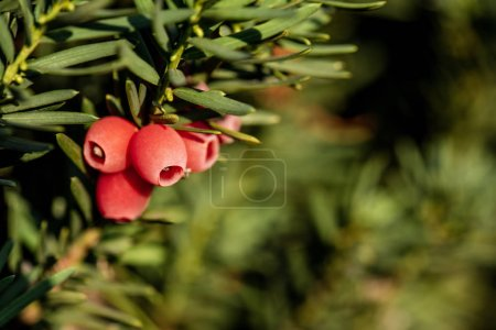 selective focus of beautiful red berries on green twigs with blurred background