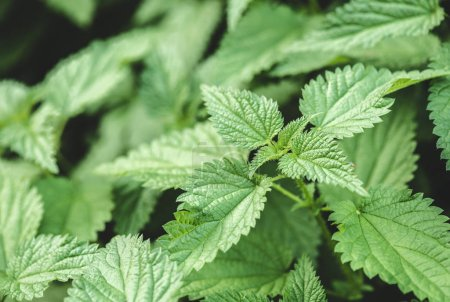 selective focus of nettle green leaves in park
